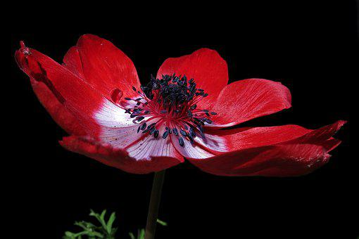 Filled Anemone, Red, Blossom, Bloom, Petals, Beauty