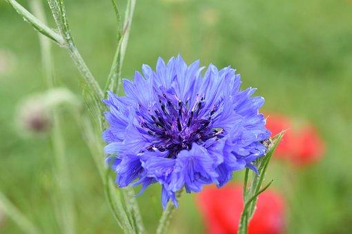 Flower, Blueberry, Blue Flower, Plant, Flora, Nature