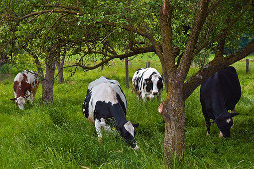 Animal, Cows, Farm, Cattle, Agriculture, Grass, Nature