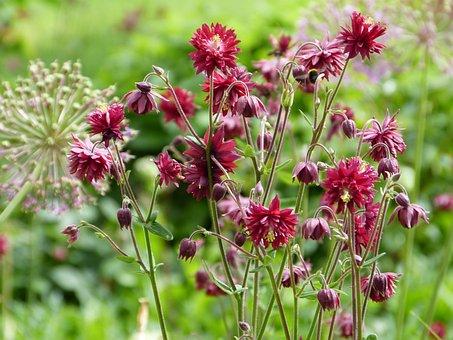 Columbine, Red, Ornamental Onion, Wild Flowers, Garden