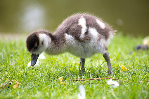 Young, Goose, Sweet, Cute, Nature, Waterfowl, Animal