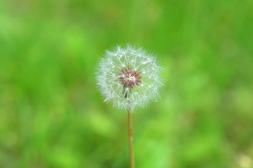 Dandelion, Mr Hall, Garden, Green, Spring, Nature