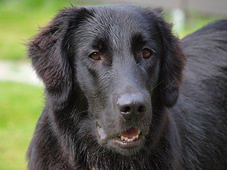 Flatcoated Retriever, Flat-coated, Retriever, Dog