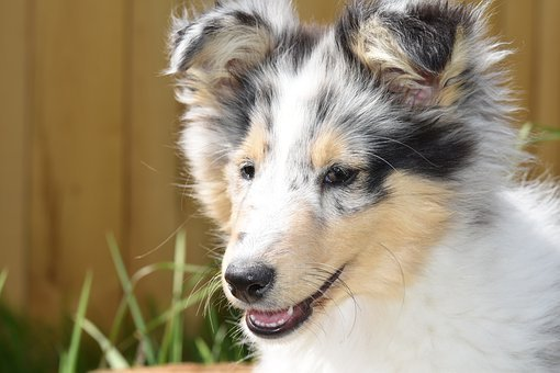 Dog, Puppy, Young Female Shetland Sheepdog
