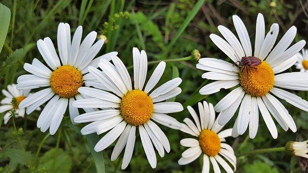 Marguerite, Flowers, Flower, Field, Meadow, Grass