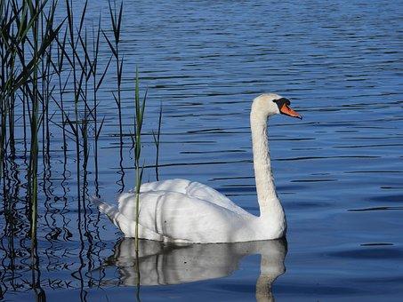 Swan, Lake, Spring, May, Evening, Water, Bird, Figure