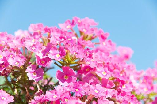 Flowers, Pink, Flourishing, Spring, Summer, Nature
