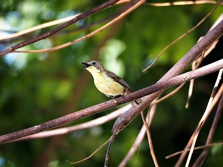 Flycatcher, Golden-bellied, Fly, Catcher, Wild, Bird