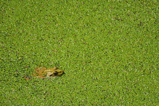 Frog, Pond, Pond Lenses, Frog Pond, Green, High