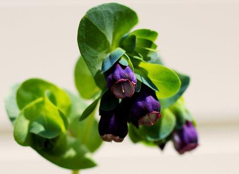 Cerinthe Major Purperascens, Wasbloem, Garden, Flower