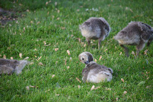 Gosling, Geese, Gaggle, Young, Birds, Fluff, Family