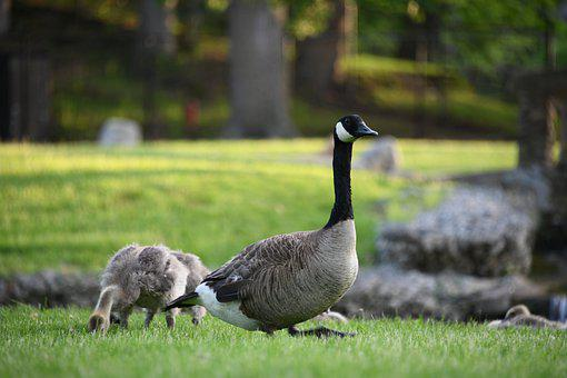 Geese, Gosling, Gaggle, Baby, Fuzzy, Cute, Park, Water