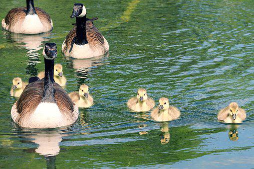 Goose Family, Geese, Canada Geese, Goslings, Chicks