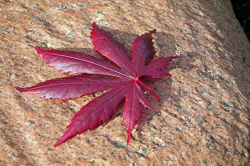 Leaf, Japanese Maple, Stone, Tree, Nature, Red, Garden