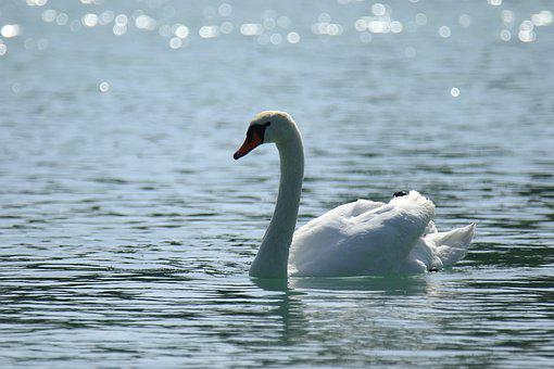 Swan, White, Lake, Water, Light, Elegance