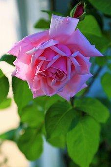 Rose, Pink, Beautiful, Spring, Nature, Love, Romantic