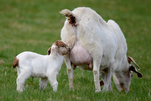 Goat, Kid, Mammal, Nature, Playful, Outdoor Life