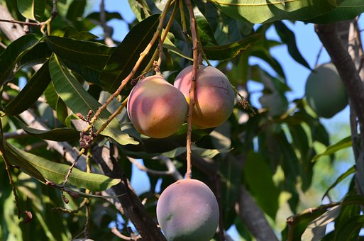 Fruit, Mangoes, Mango, Fresh, Fruits, Healthy, Tropical