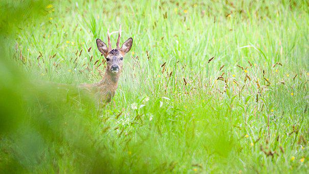 Roe Deer, Animals, Sauvage, Wild, Natural, Forest