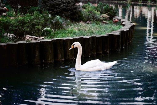Swan, Park, Nature, Water, Animal, White, Elegant
