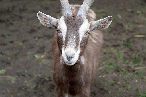 Goat, Animal Farm, Farm, Animal Welfare, Nature
