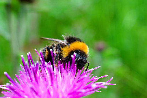 Bee, Bumble Bee, Bumblebee, Insect, Nature, Flower