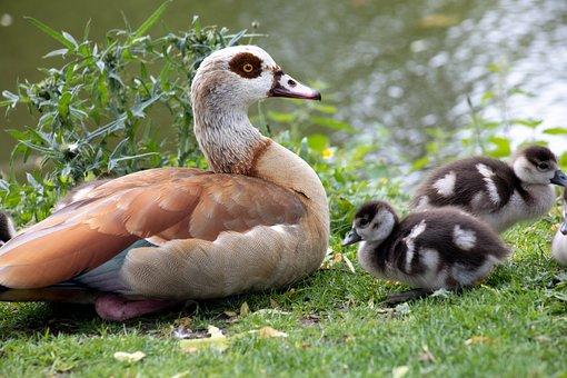 Wild Goose, Sweet, Cute, Nature, Waterfowl, Animal