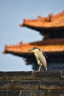 Wall, Bird, Background, Animal, Night Heron