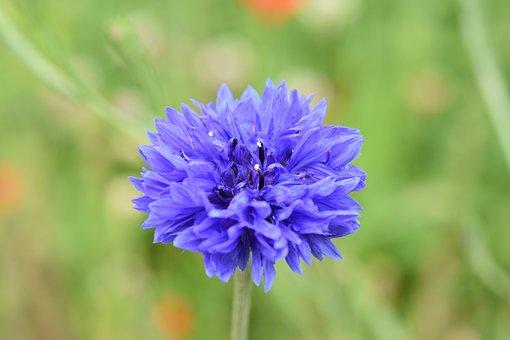 Flower, Blueberry, Blue Flower, Nature, Garden, Plant