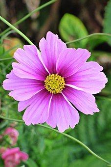Flower, Garden, Wild, Petals, Spring, Rosa, Purple