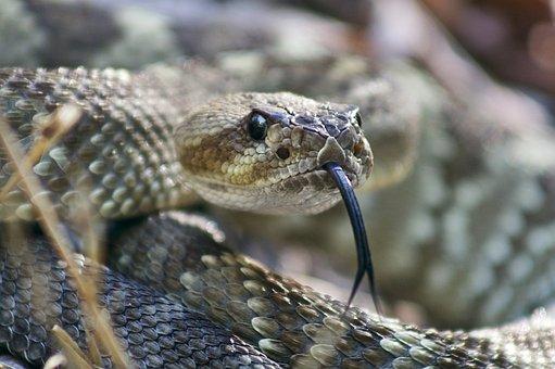 Black Tailed, Rattlesnake, Reptile, Danger, Wildlife