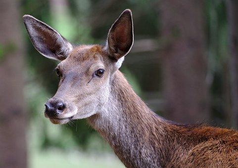 Roe Deer, Forest, Red Deer, Wildlife Park, Mammal