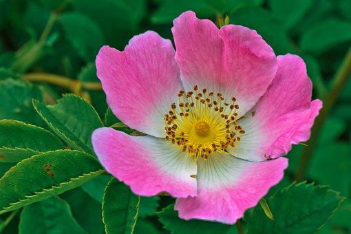 Flowers, Prairie Rose, Rose, Rosa Arkansana, Prairie