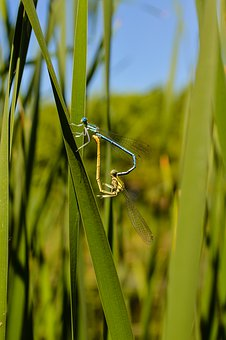 Dragonflies, Reproduction, Fauna, Insects, Sex