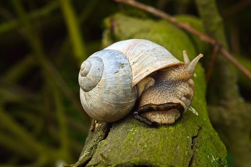 Animal, Snail, Nature, Mollusk, Shell, Slowly, Macro