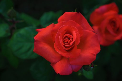Rose, Red, Beautiful, Spring, Nature, Plant, Love