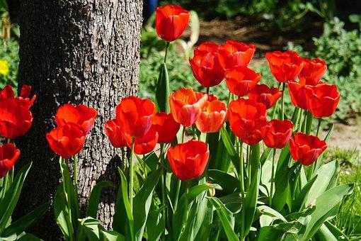 Tulips, Red, Tree, Log, Garden, Spring, Bark, Plant