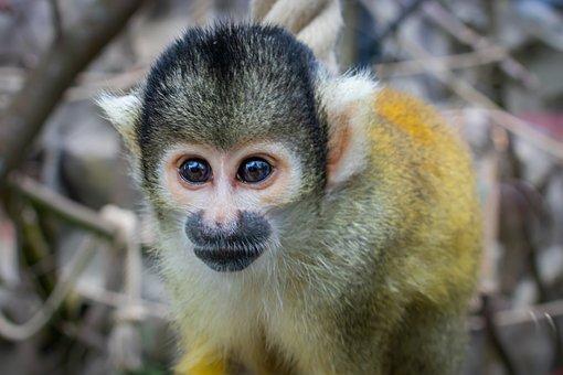 Squirrel Monkey, Animal, Nature, Creature, Monkey