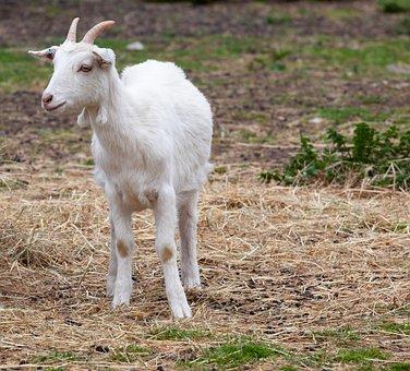 Goat, Standing, Horns, White, Livestock, Farm, Animal