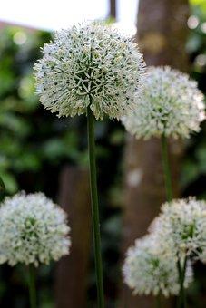 Allium Ping Pong, White, Flowers, Ornamental Onion