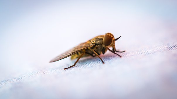 Fly, Insect, Pest, Nature, Wildlife, Flying, Blowfly