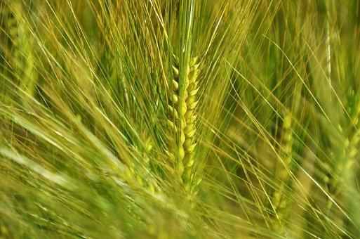 Barley, By Chaitanya K, Grain, Wind, In The Morning