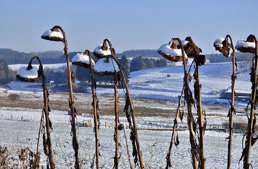 Sunflowers, Dead, Snowy, Landscape, Wintry, Cold