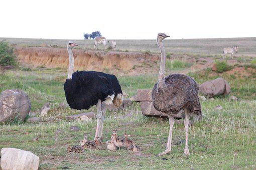 Strauss Family, Ostriches, Family, Animal Family