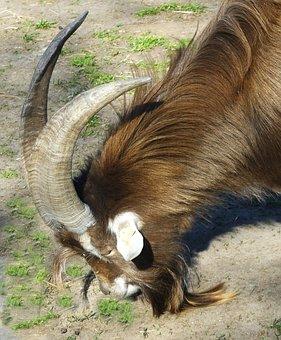 Animal, Billy Goat, Horns, Creature, Goatee, Horned