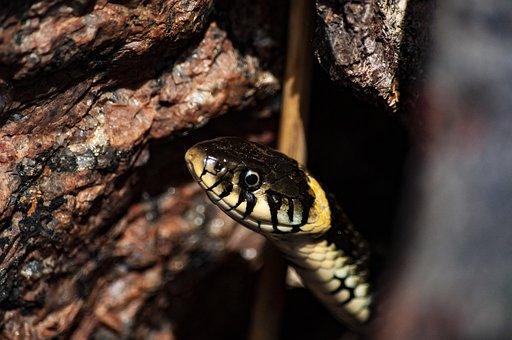 Grass Snake, Snake, Animal, Reptile