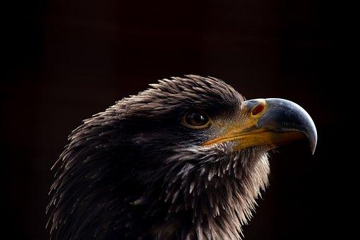 Bald Eagle, Bird, Animal, Animal World, Young Bird