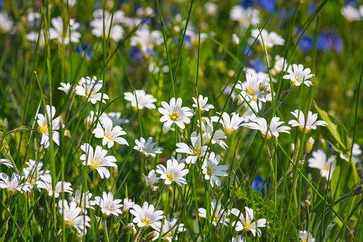 Wild Flowers, Meadow, Arable Hornwort, Wildflowers