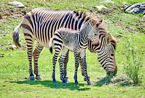 Zebra Baby, Baby Animal, Zebra, Hartmann's