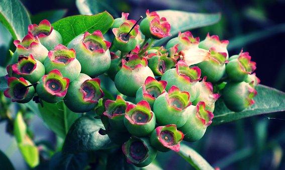 Bilberry American, Fruit, Nature, Closeup, Garden, Bush